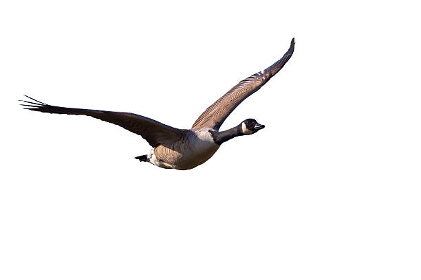 A Canada Goose flying in the sky Flying Canada Goose Isolated on White Background canada goose stock pictures, royalty-free photos & images