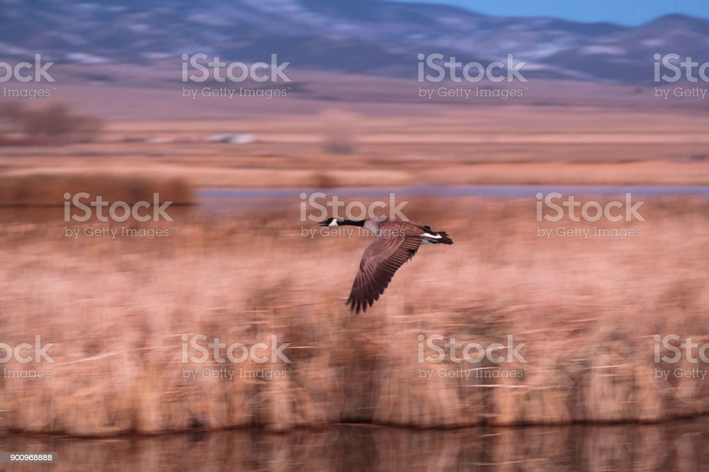 Canada Goose Flying Low Over a Marsh at Dawn stock photo