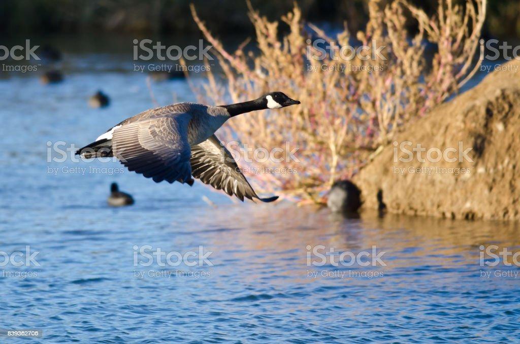 Bernache du Canada voler au-dessus de l'étang d'automne - Photo