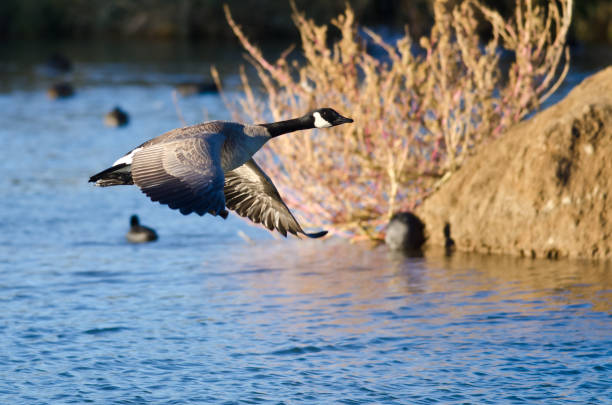 Canada Goose Flying Low Over the Autumn Pond Canada Goose Flying Low Over the Autumn Pond canada goose stock pictures, royalty-free photos & images