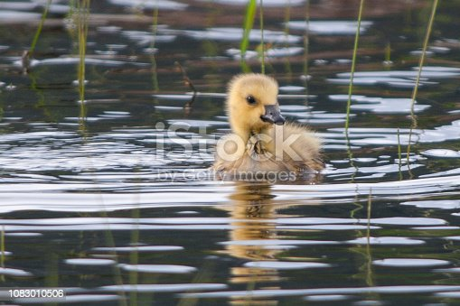 A Canada Goose Gosling make charming ripples in the water