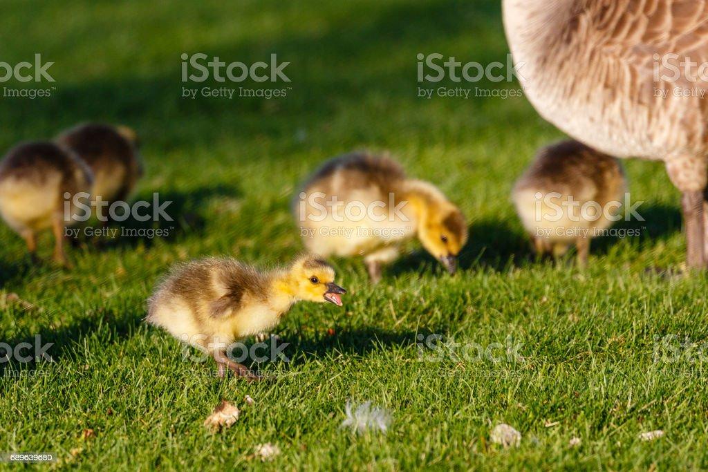 Canada Goose gosling yelling about something stock photo