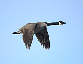 A Canada Goose in flight