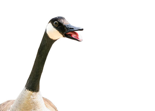 Canada goose isolated on white background Canada goose getting aggressive with mouth open canada goose stock pictures, royalty-free photos & images