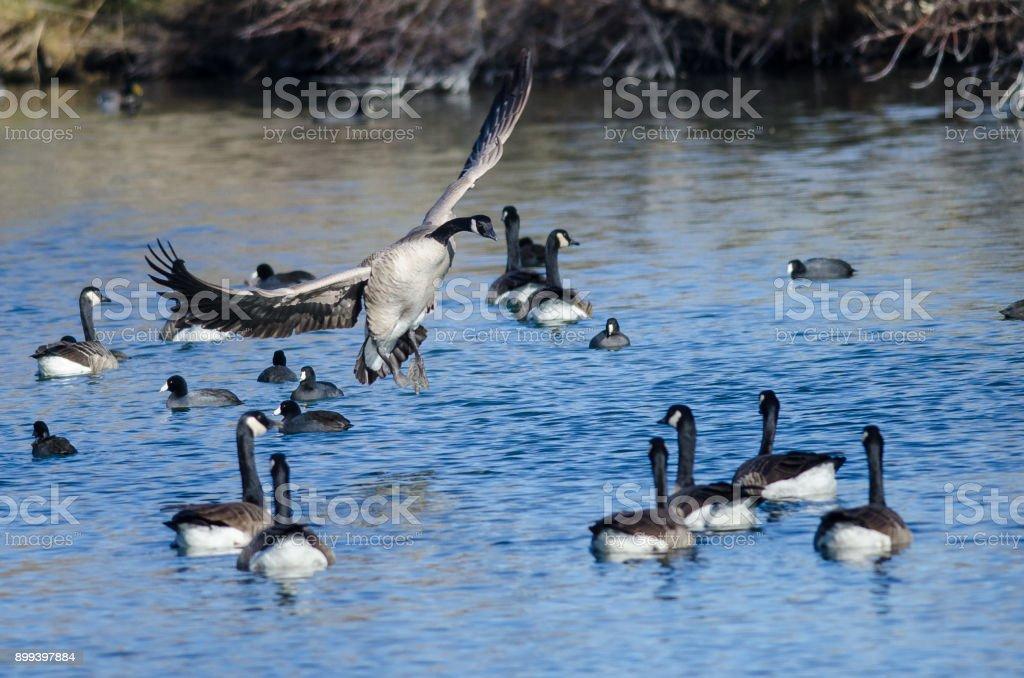 Canada Goose d'atterrissage entre amis sur l'eau du bassin toujours bleu - Photo