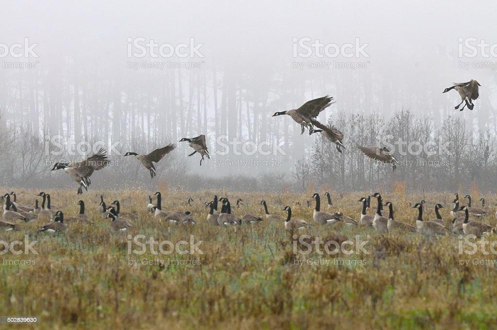 Canada Goose Landing In Mist stock photo