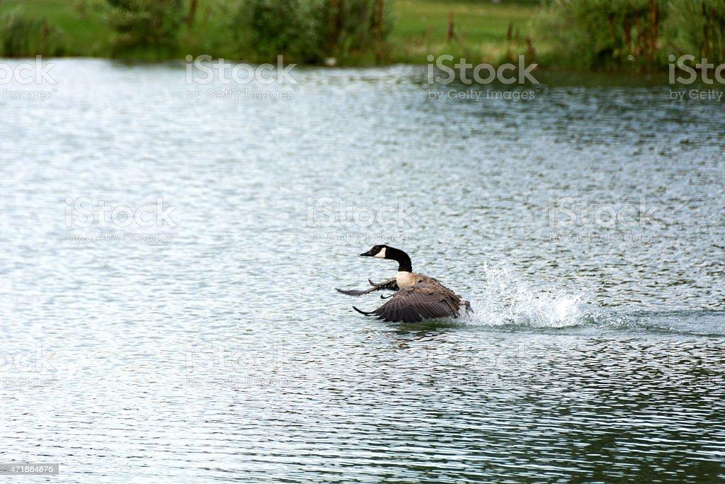 Canada Goose motoring across lake with splashes. stock photo