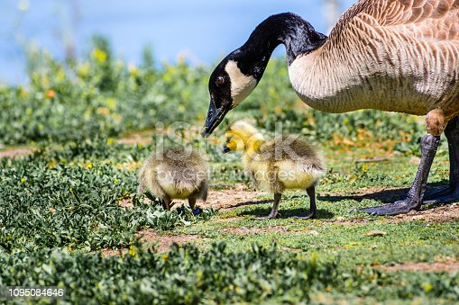 Canada Goose (Branta canadensis) new born chicks eating grass under the supervision of their mother on the shoreline of a lake, San Francisco bay area, California