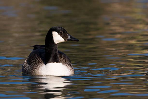 Canada Goose on Autumn Lake stock photo