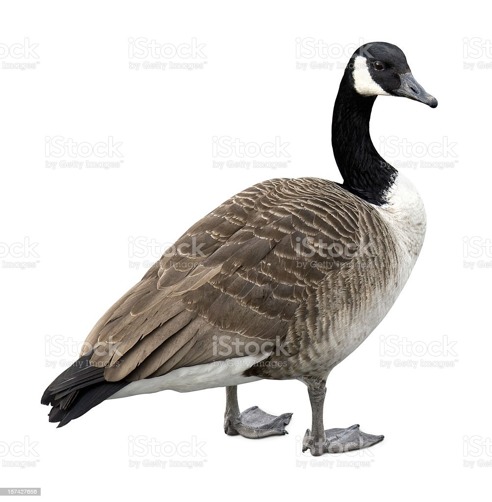 Canada goose on white stock photo