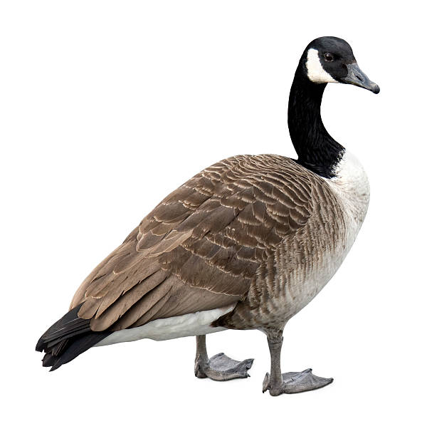 Canada goose on white  canada goose stock pictures, royalty-free photos & images