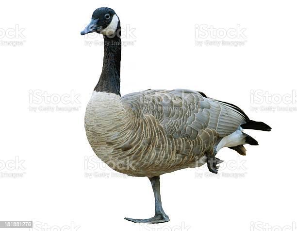 Canada goose on white picture id181881276?b=1&k=6&m=181881276&s=612x612&h=2gzlfn8npcc 1kc6txal8hqla5u9tipp1s3wkgwb5dq=