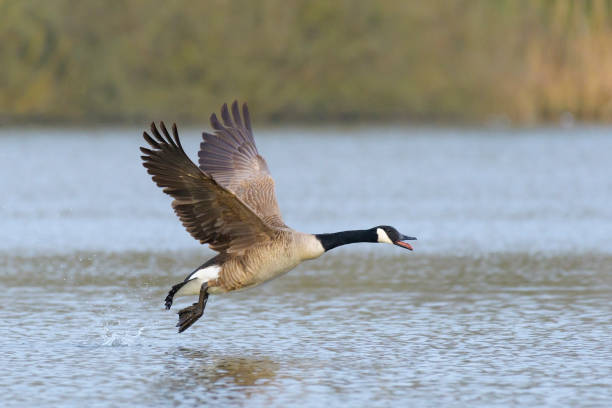 Canada Goose Starting Canada Goose (Branta canadensis), Germany, Europe canada goose stock pictures, royalty-free photos & images