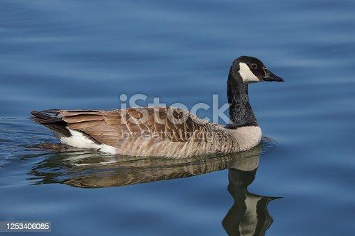 Canada Goose (Branta canadensis) swimming across a lake