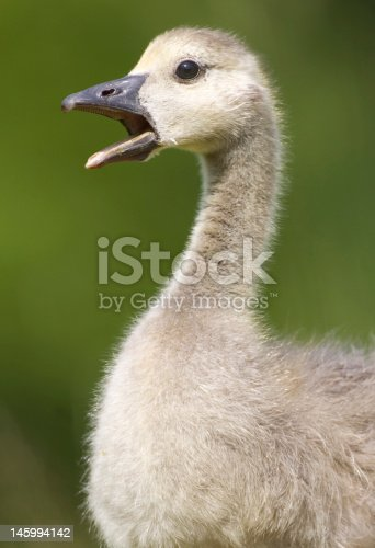 Young Canada Goose (Branta canadensis) calls to its mother. UK