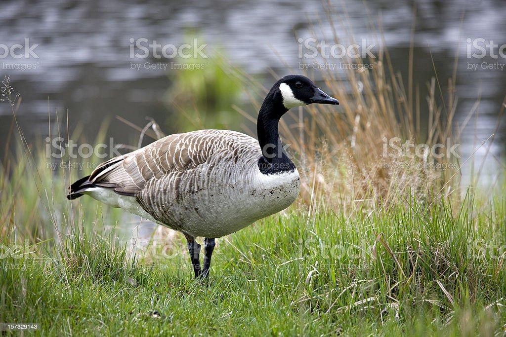 Canada Goose (Branta canadensis) royalty-free stock photo