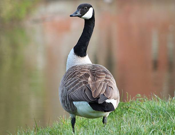 Canada Goose Canada Goose canada goose stock pictures, royalty-free photos & images