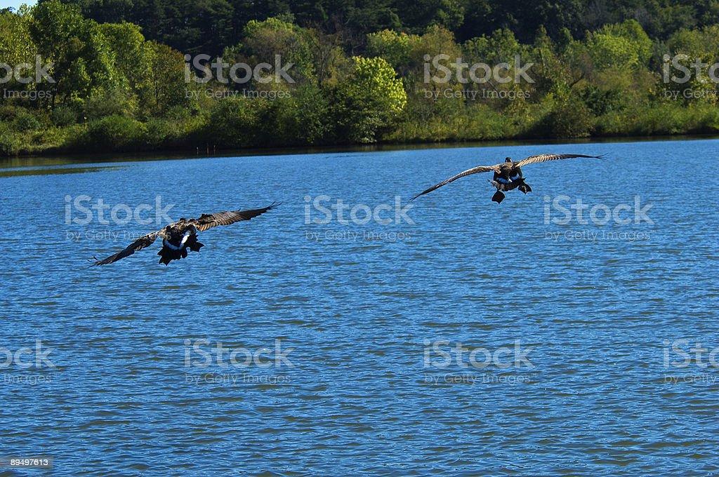 Canada Goose royalty free stockfoto