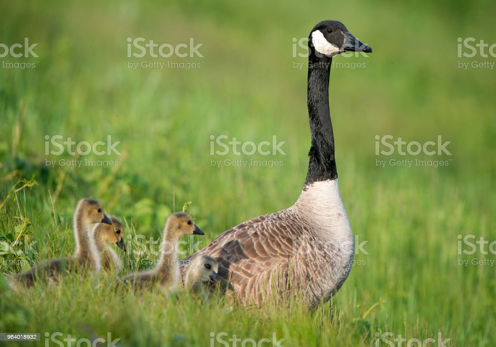 Canada Goose - Royalty-free Animal Wildlife Stock Photo