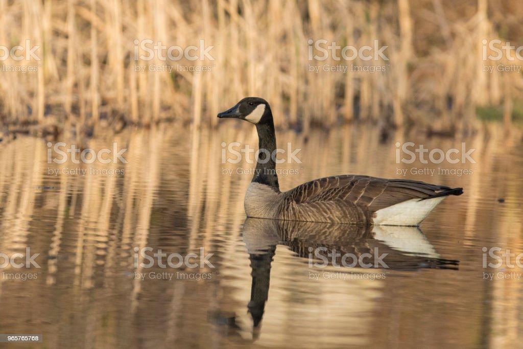 Canada goose - Royalty-free Alberta Stockfoto