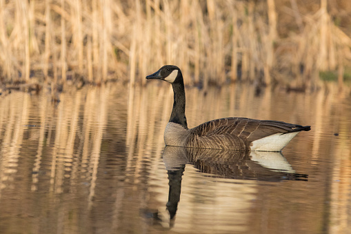 Canada Goose Stockfoto en meer beelden van Alberta