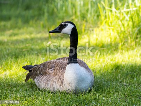 A Canada Goose resting on the grass. Taken in Red Deer, Alberta
