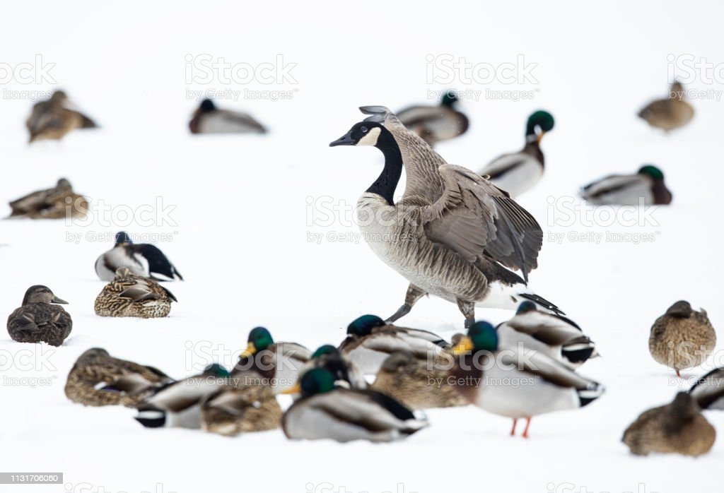 Canada Goose resting in a wildlife reserve stock photo