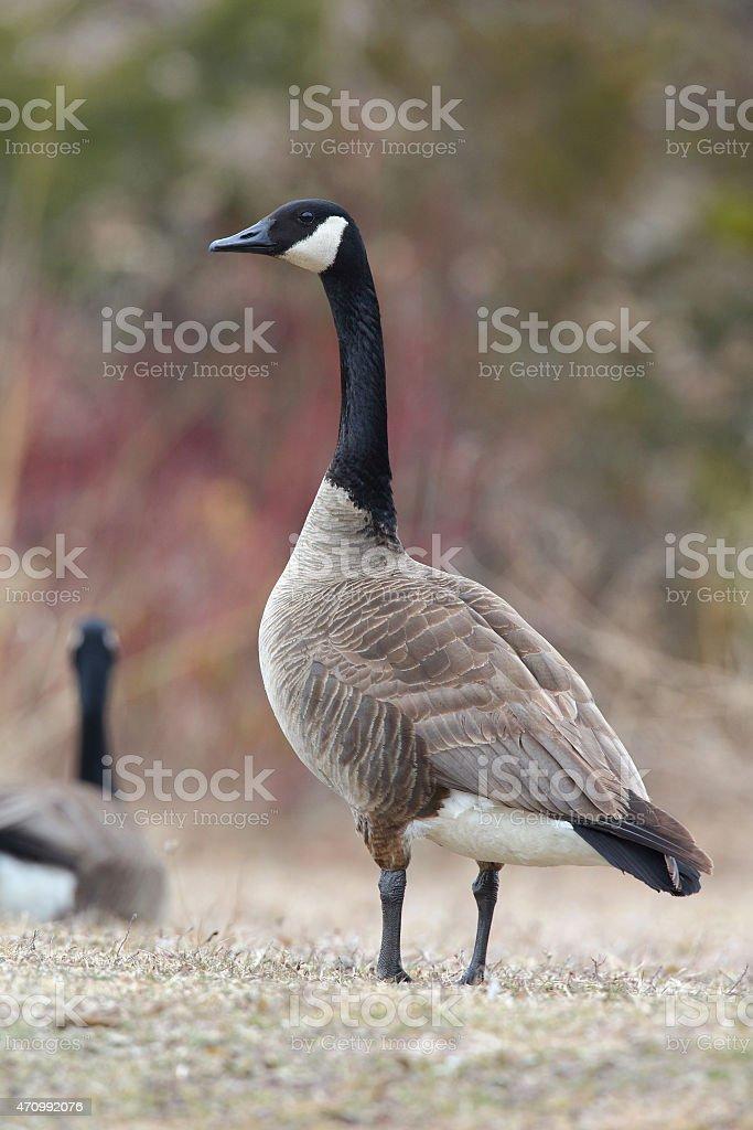Canada Goose Scanning its Surroundings stock photo