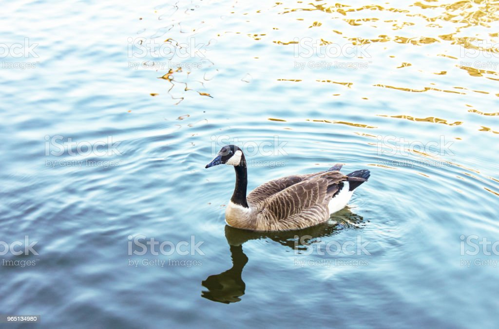Canada goose serenely Swimming in blue water with wake and  reflection royalty-free stock photo