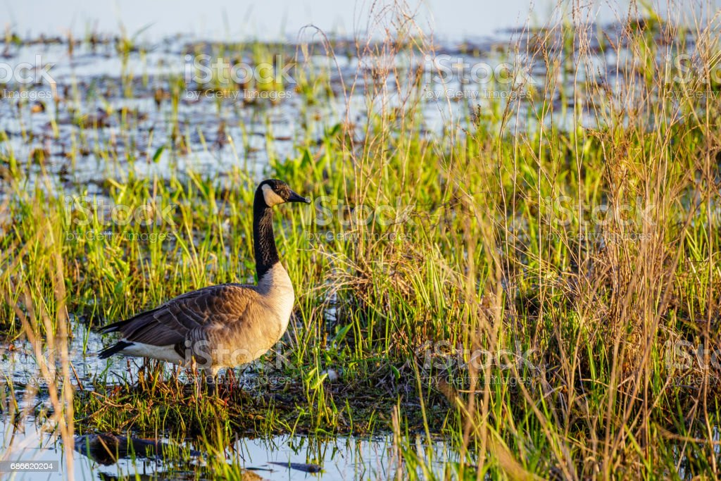 Canada Goose (branta canadensis) standing in a Wisconsin marsh during springtime royalty-free stock photo