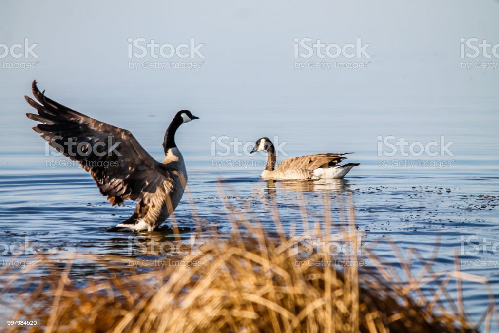 Canada goose takes flight, Frank Lake, Alberta, Canada