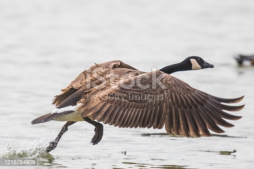 Canada Geese are Lrge and Powerful Flyers