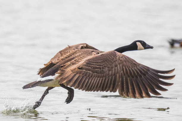 Canada Goose Takes Flight on a Winter Day Canada Geese are Lrge and Powerful Flyers lake waterfowl stock pictures, royalty-free photos & images