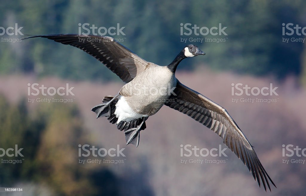 Canada Goose taking Flight royalty-free stock photo