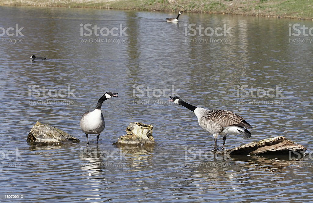 Canada geese cackling courtship display royalty-free stock photo