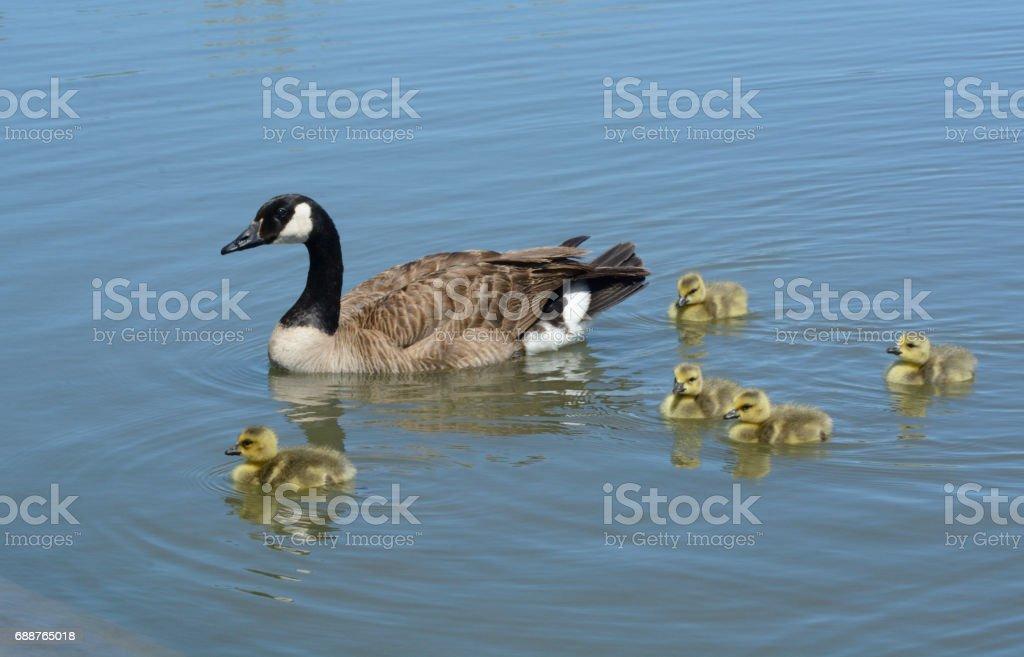 Canada goose wih oisons de bébé - Photo
