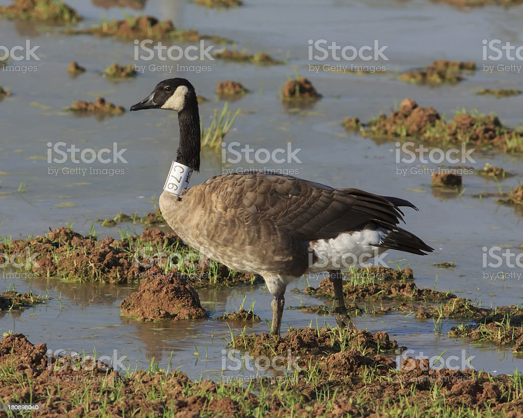 Canada Goose With Collar royalty-free stock photo