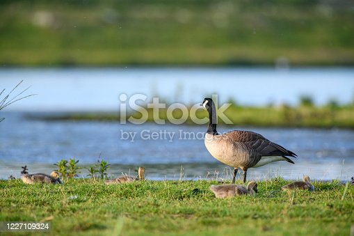 Canada goose (Branta canadensis) with gosling in a swamp at the end of a springtime day in the Reevediep nature reserve in Overijssel, The Netherlands.