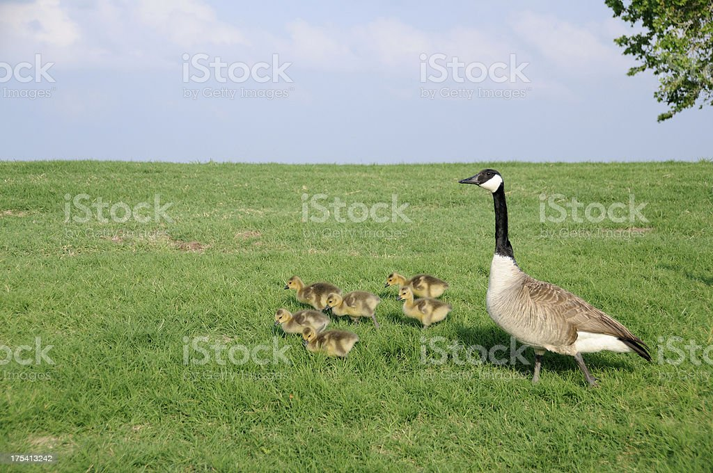 Canada Goose with Goslings stock photo