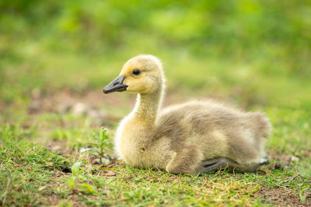 Canada Gosling A close up of an adorable baby Canada gosling. sdominick stock pictures, royalty-free photos & images