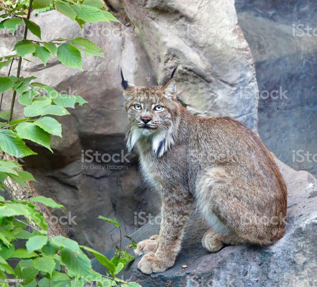 Canada Lynx 1 stock photo