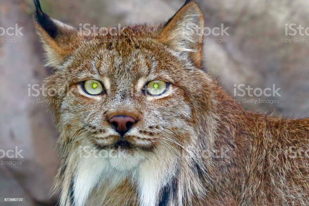 Canada Lynx 2 stock photo