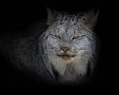 Extreme closup of lynx wildcat with dark background