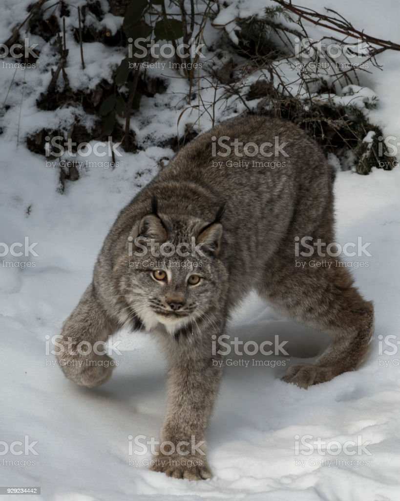 Canada Lynx posing for the photgrapher in the snow stock photo