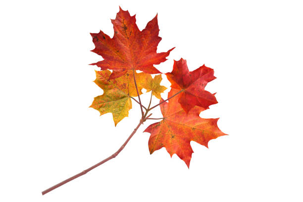 canada maple branch with autumn red leaves - maple leaf stock pictures, royalty-free photos & images