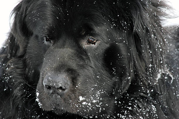 kanada : neufundländer im schnee - hunde aus dem tierheim stock-fotos und bilder
