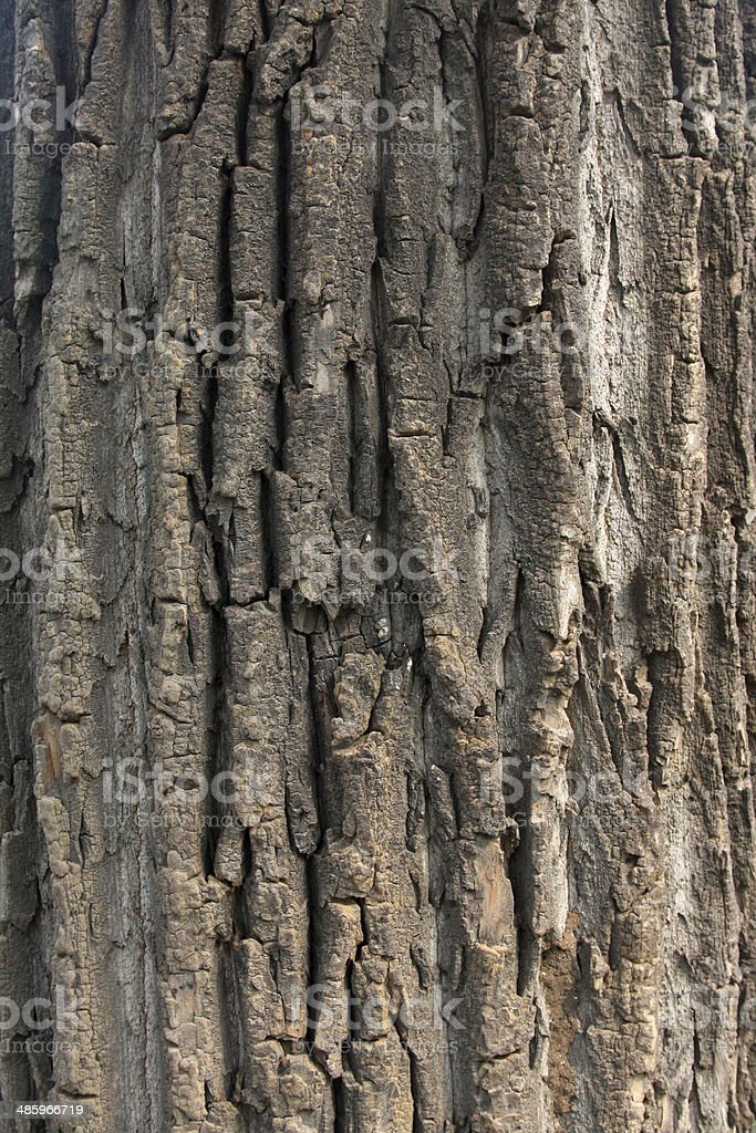 Canada poplar and windows in a park stock photo