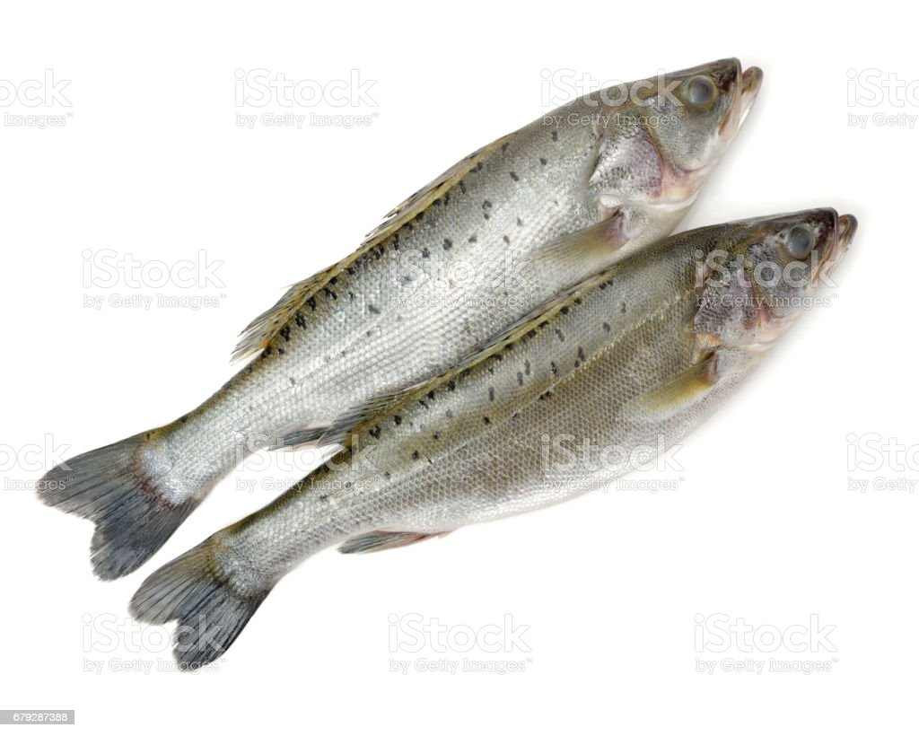 Canada Striped bass whole fresh fish, also called Atlantic striped bass, striper, linesider, rock or rockfish, product of Canada, isolated on white background. royalty-free stock photo