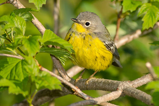 Canada Warbler stock photo