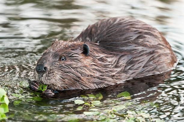 Canadian Beaver - Photo